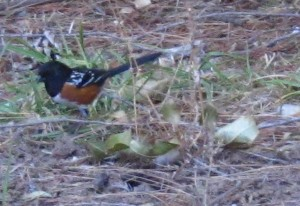 Rufus Sided Towhee in the back yard Upper Ojai California