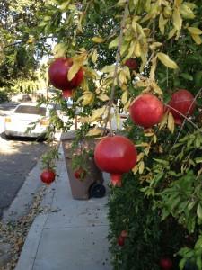 pomegranates, fallen fruit, public fruit, public art,